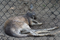 Wallaby At Rest