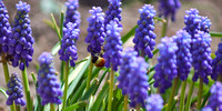 Grape Hyacinth And Orange-belted Bumblebee Bee