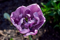 Tulips, Purple Curled