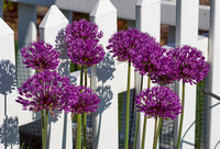 Drumstick Allium Bunch
