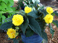 Yellow Nonstop Begonia
