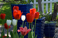 Red White & Blue: Tulips And Planters