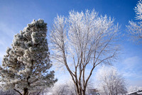 Trees Share The Frost